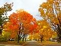 Autumn Colors in Madison - panoramio (14).jpg