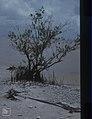 Avicennia germinans. Black mangrove. Inagua. (38155090704).jpg