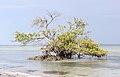 Avicennia germinans shallow water.jpg