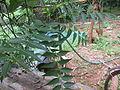 Azadirachta indica - ആര്യവേപ്പ് 01.JPG