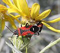 BUG, SMALL MILKWEED (Lygaeus kalmii) (9-15-10) NW San Rafael Valley, scc, az -02b (4994678730).jpg