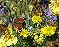 Babočka paví oko na odkvétajících květinách v Borovech.jpg
