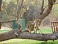 Baboons on the lawn - panoramio.jpg