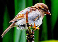 Baby-sparrow (5534618462).jpg