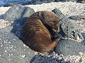 Baby sea lion sleeping in Las Loberias, Galapagos Islands.jpg
