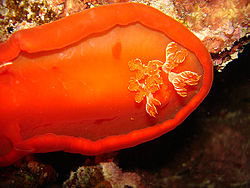 definition of nudibranch