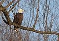 Bald Eagle (31446429584).jpg