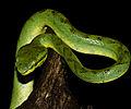 Bamboo-Pit-viper.jpg