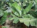 Banana plantation (Los Sauces) 02 ies.jpg