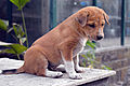 Bangladeshi Puppie's behavior (05).jpg