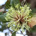 Banksia ilicifolia inflorescence 3.jpg