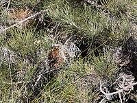 Banksia lanata.JPG