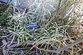 Banksia speciosa - San Francisco Botanical Garden - DSC09883.JPG