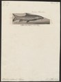Barbus vulgaris - 1700-1880 - Print - Iconographia Zoologica - Special Collections University of Amsterdam - UBA01 IZ15000097.tif