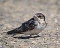 Barn Swallow (33843845852).jpg