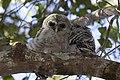 Barred Owl (1), NPSPhoto, R. Cammauf (9101555840).jpg