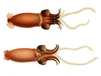 Squid - Bathyteuthis abyssicola