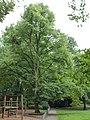 Baum im Farwickpark - panoramio (2).jpg