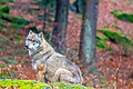 Bavarian Forest National Park - Wolf 3 (15999852272).jpg