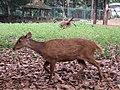 Bawean deer Axis kuhlii.JPG