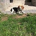 Beagle1234.jpg