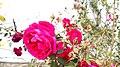 Beautiful Morning Rose.jpg