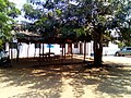 Beautiful trees in Caia, Mozambique.jpg