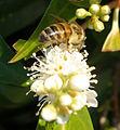 Bee-with-pollen-2 (45256825).jpg