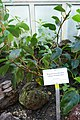 Begonia loranthoides subsp. loranthoides-Jardin botanique de Berlin (1).jpg