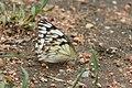 Belenois gidica-01 (xndr).jpg