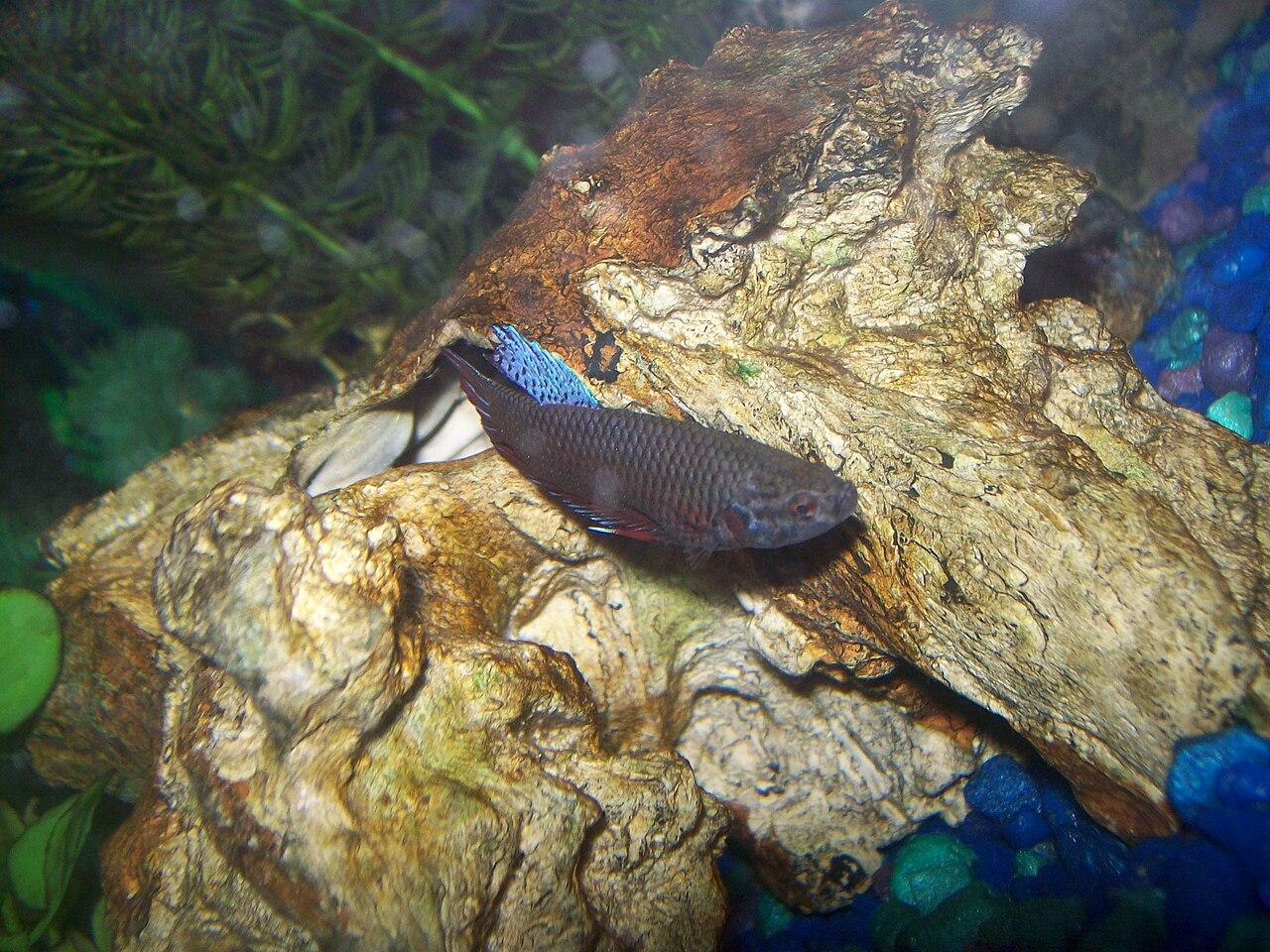File betta splendens female wikipedia for Pictures of female betta fish