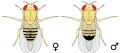 Biology Illustration Animals Insects Drosophila melanogaster.svg