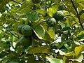Bira tenga (Assamese- বিৰা জৰা) (2077406273).jpg