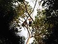 Bird Wreathed Hornbill Rhyticeros undulatus IMG 9195 (3).jpg