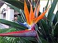 Bird of Paradise 11-11-13a (11275090794).jpg