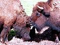 Bison bison Gramat.jpg