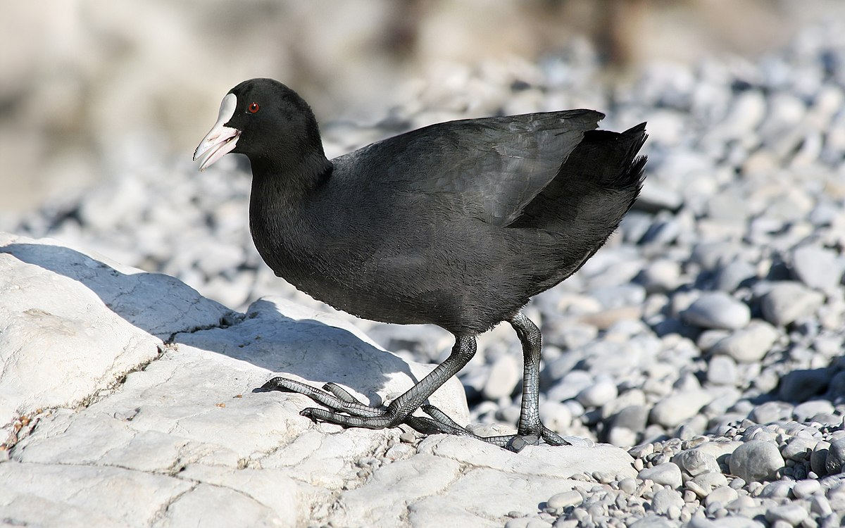 dlouhé černé ptáky obrázky