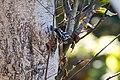 Black-and-white warbler (24345662217).jpg