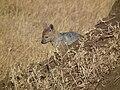 Black-backed Jackal Canis mesomelas in Tanzania 3520 Nevit.jpg