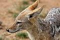 Black-backed jackal, Canis mesomelas, at Pilanesberg National Park, South Afric (17127771949).jpg