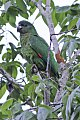 Black-billed Amazon (Amazona agilis) (8082123146).jpg