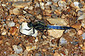 Black-tailed skimmer dragonfly (Orthetrum cancellatum) young male.jpg