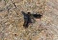 Black-winged Bee-fly (Exoprosopa sp.) (11966832686).jpg