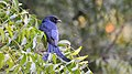 Black drongo at IIT Delhi.jpg