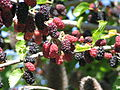 Blackberry moras.jpg