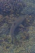 Blacktip reef shark (Carcharhinus melanopterus) - Pulau Komodo - Indonesia 24.jpg