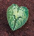 Blad van Cyclamen hederifolium. Locatie, Tuinreservaat Jonkervallei 03.jpg