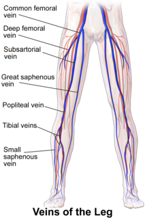 Popliteal vein Large leg vein