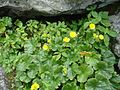 Blooming spreading avens flowers.jpg