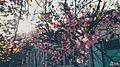 Blossoms svln4821 sekiller photos ordubad yaz.jpg